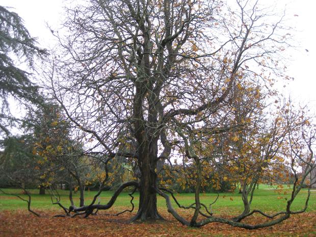 Chestnut Tree, West Dean Estate